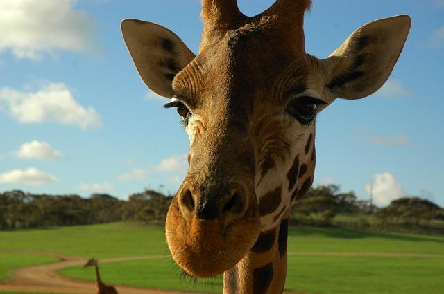 giraffe-479656_640