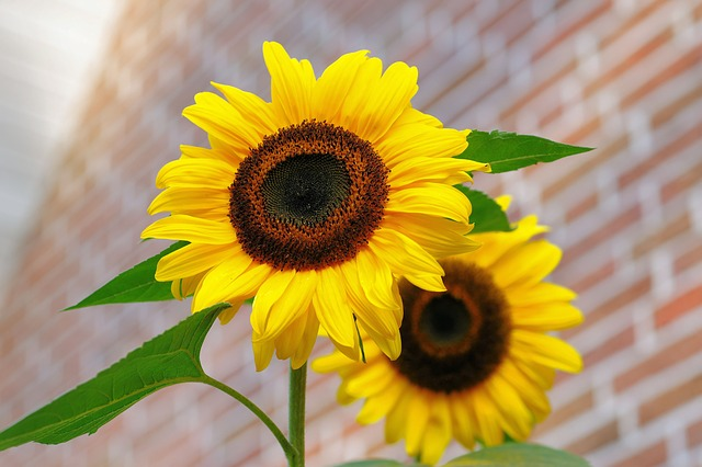 sunflower-448654_640