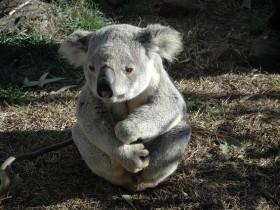 koala-bear-542390_640