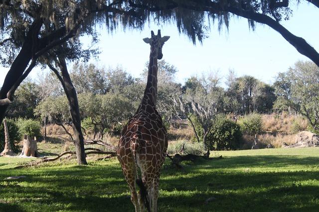 giraffe-61592_640