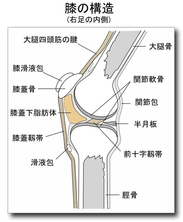 膝関節痛 膝の構造